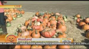 dazzles pumpkin