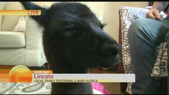 baby alpaca 2