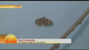 butterflies 1