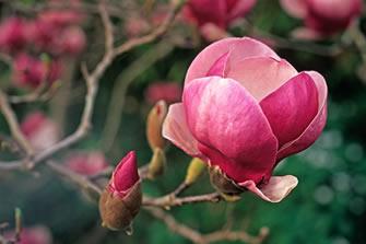 highlights-magnolia