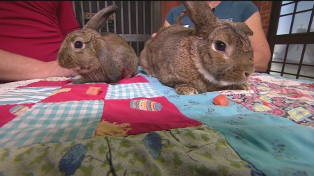 SPCA Pet of the Week Rabbits 1