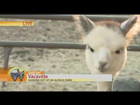 alpaca-1