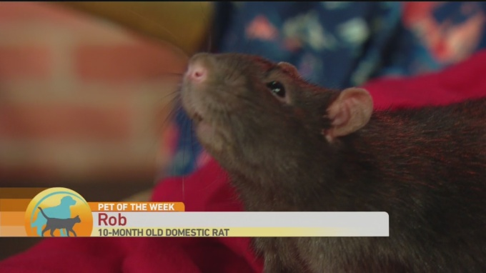 SPCA Rob the Rat 1