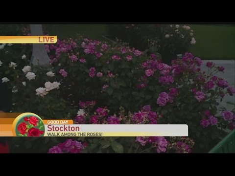 Stockton Rose Garden 1